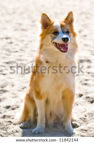Iceland hound puppy is friendly and playful - stock photo