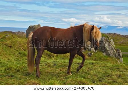 Iceland in July. Farmer sleek horse. A beautiful horse grazing in a meadow near the farm - stock photo