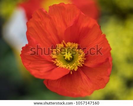 Iceland poppy flower stock photo royalty free 1057147160 iceland poppy flower mightylinksfo
