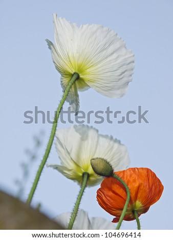 Iceland poppy (Papaver nudicaule) - stock photo