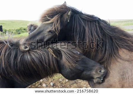 Iceland's Icelandic horses mutually grooming each other - stock photo
