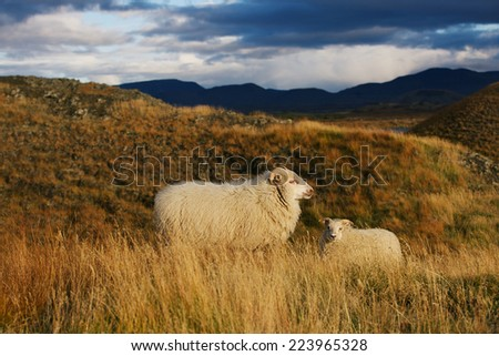 Iceland sheep with lamb in autumn field at sunset - stock photo