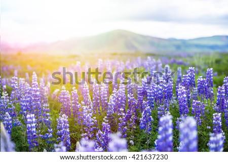 Icelandic Beautiful Landscape Lupine Bluebonnet field in South Iceland - stock photo