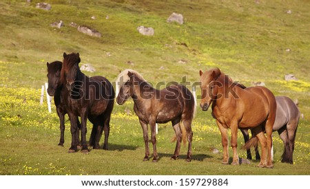 Icelandic free horses grazing on the grass. - stock photo