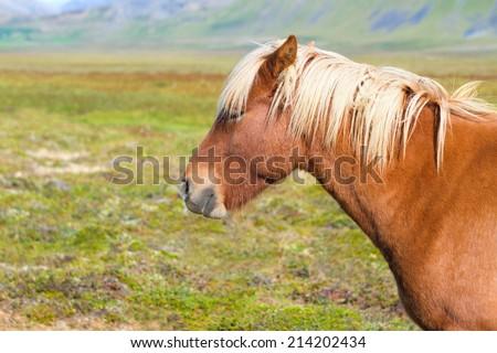 Icelandic Horse - stock photo