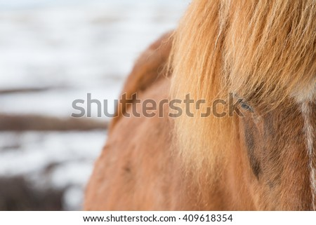 Icelandic Horse , close up shot of the side of horse