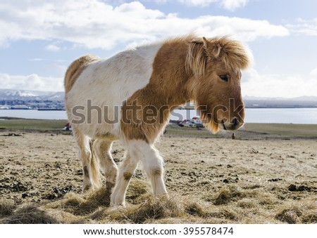 Icelandic horse, cute and small. The unique horse.