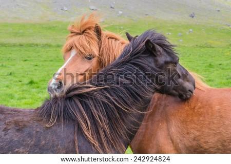 Icelandic horse friendship in nature - stock photo