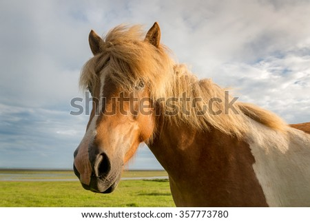 Icelandic horse head in closeup with beautiful sunset light
