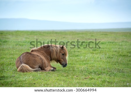 Icelandic horse in a very windy day - stock photo
