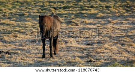 Icelandic horse in frosted pasture with bird sitting on back