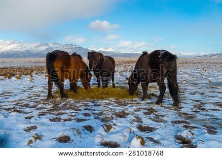 Icelandic Horse in Snowfall, Winter, Iceland - stock photo