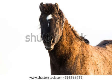 Icelandic Horse isolated on white background