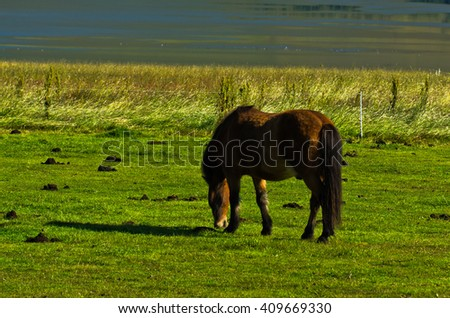 Icelandic horse on a meadow over the Akureyri fjord, sunny summer day at north Iceland - stock photo
