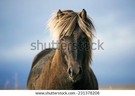 Icelandic horse portrait in the field - stock photo
