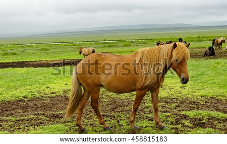 Icelandic horse seen on the Golden Circle tour in Iceland