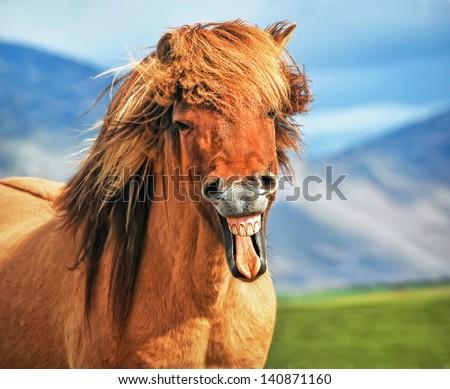 Icelandic horse smiling - stock photo