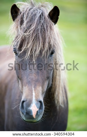 Icelandic horse. The Icelandic horse is a breed of horse developed in Iceland. Although the horses are small, at times pony-sized, most registries for the Icelandic refer to it as a horse. - stock photo