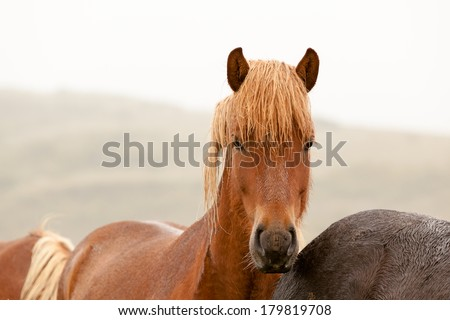 Icelandic horse with chestnut hair - stock photo