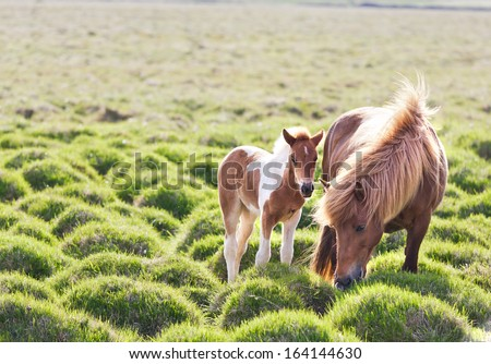 Icelandic horse with her colt. Iceland, Europe. - stock photo