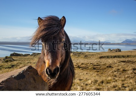 Icelandic horse with the sea and mountains in the background