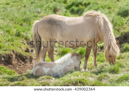 Icelandic horses are rather small and very beautiful. Mare and foal in the meadow - stock photo