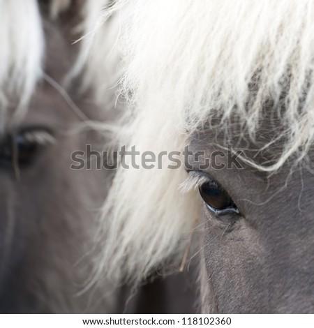Icelandic horses , closeup of eye - stock photo