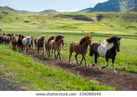 Icelandic horses galloping down a road, rural landscape, Iceland - stock photo