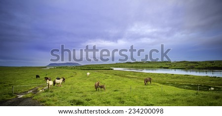 Icelandic horses graze in a rural field - stock photo