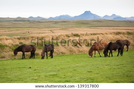 Icelandic horses in a peaceful meadow dominated by a volcanic - stock photo