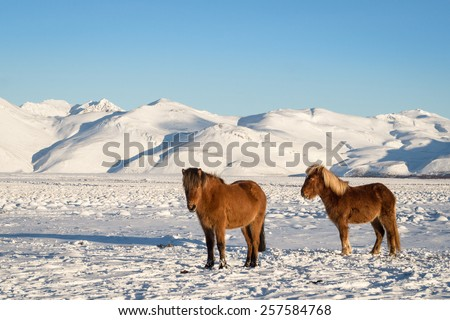 Icelandic Horses in a Winter Landscape - stock photo