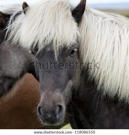 Icelandic horses in pasture - stock photo