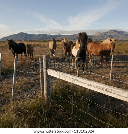Icelandic horses in pasture behind wire fence - stock photo