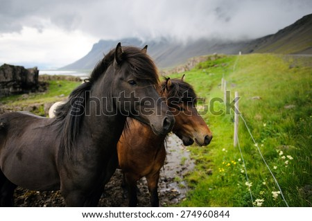 Icelandic horses looking away on a cloudy day with some mountains on a background, Hofn, West Iceland - stock photo