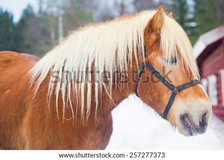 Icelandic Horses on a farm in winter time near farm ranch in Iceland