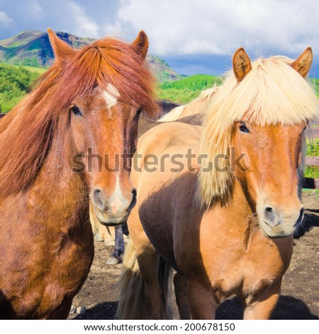 Icelandic Horses on a meadow near beautiful landscape of a famous tourist place - lake Myvatn in Iceland in the north - stock photo