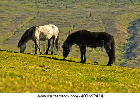Icelandic horses on a meadow over the Akureyri fjord, sunny summer day at north Iceland - stock photo