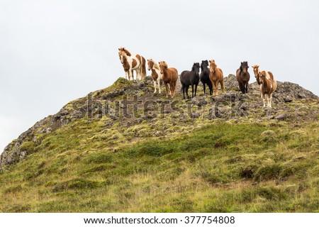 Icelandic horses on pasture on top of the hill,  nature habitat, Iceland - stock photo