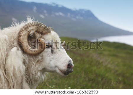 Icelandic lamb and fiord. Horizontal. - stock photo