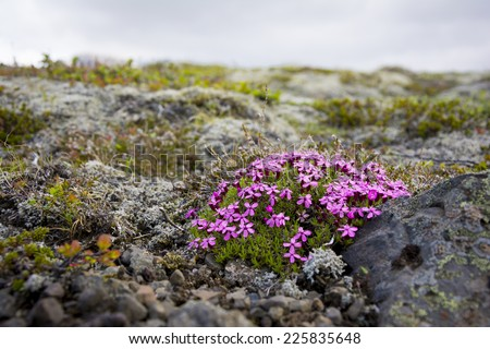 Icelandic pink flowers in Skaftafell natural park - stock photo