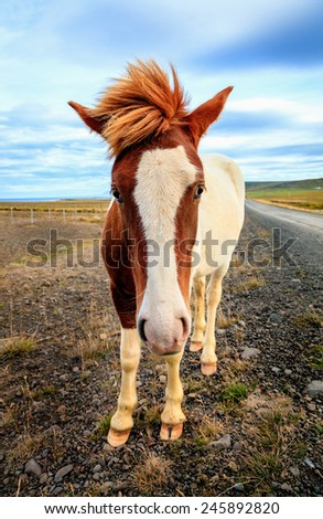Icelandic Pony on a remote gravel road in Iceland - stock photo