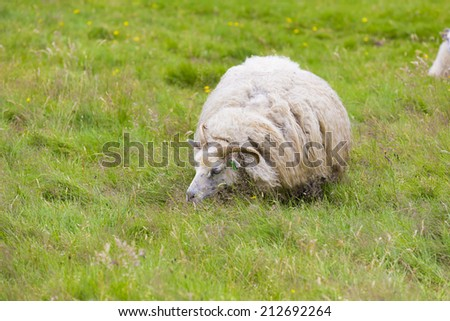 Icelandic sheep - stock photo