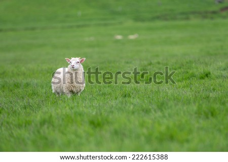 Icelandic sheep grazing on a green pasture in Iceland. - stock photo
