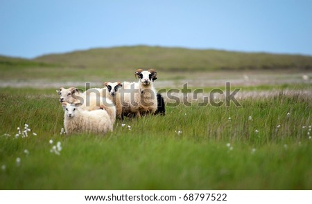 Icelandic sheep grazing on a green pasture in Iceland - stock photo