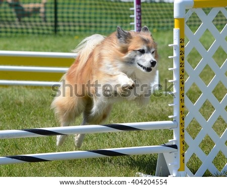 Icelandic Sheepdog Leaping Over a Jump at Dog Agility Trial - stock photo