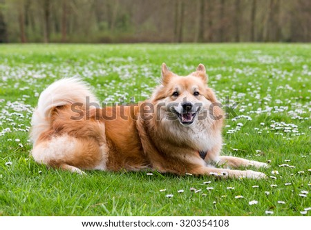 Icelandic Sheepdog lying in a green field with flowers