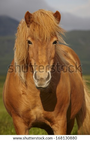 Icelandic wild horse closeup with sky and mountains background. - stock photo