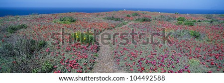 Iceplant and coreopsis on Anacapa Island, Channel Islands, California - stock photo