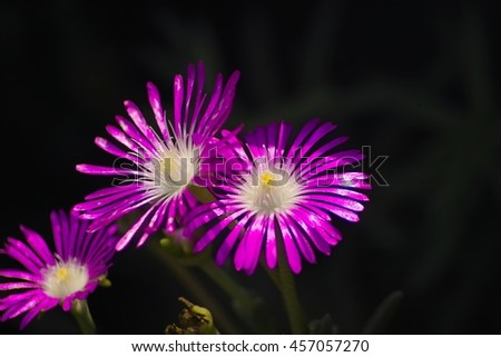 Iceplant, Pink Carpet (Delosperma cooperii), south african flora
