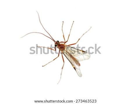 Ichneumon Wasp male isolated on white background